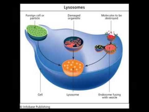Lysosomes Youtube