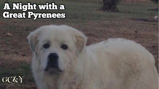 Example of a night with GREAT PYRENEES …a small clip of LGD'S doing their job even if no livestock