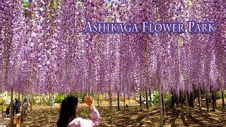 "ASHIKAGA FLOWER PARK 2021, Episode-1 ""O-Fuji wisterias are in full bloom"". #4K #あしかがフラワーパーク #藤"