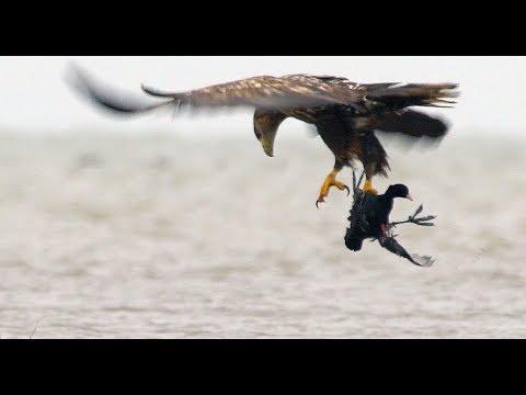 Взрослый Орлан-белохвост учит птенцов охотиться. White-tailed eagle. Hunting Lesson.