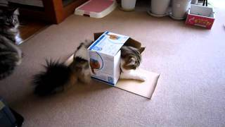 おデブさんだけど小さい箱が好きな我が家のネコ箱に入ろうとしたのはい...