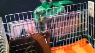 Guinea Pig Flease