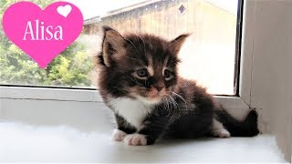 КАРАМЕЛЬКА и ее котята МЕЙН-КУН Алиса показывает котят Детский канал Little baby