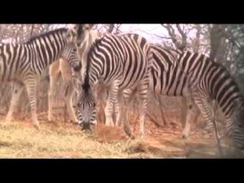 Motsomi Safaris South Africa Crossbow Hunting Zebra Yvonne