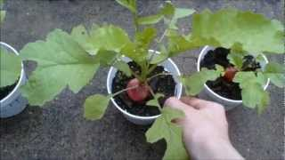Plant Experiment No.1 Gibberellic Acid and Other Chemicals on Plant Growth