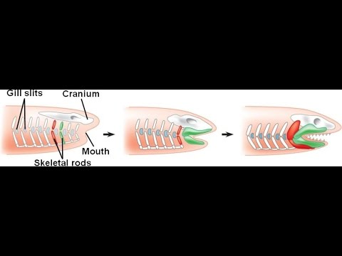 Origin Of The Jaw
