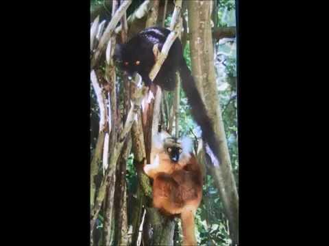 Majmuni - Post Ancient Monkey Song