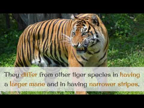 14 Interesting Facts You Should Know About Sumatran Tiger