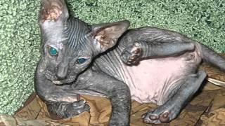 Котята моей кошки породы Донской Сфинкс