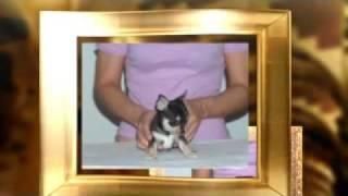 Cuccioli di chihuahua 25/07/2009