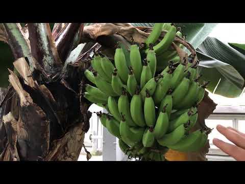Aus dem Gewächshaus des Botanischen Volksparks: Banane und Ensete
