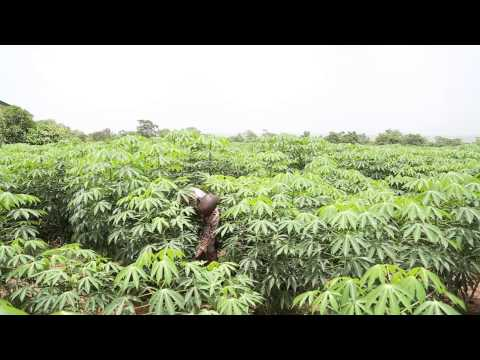 Growing Cassava for Optimum profitability to sustain HQCF Factories