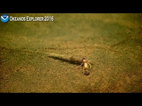 """""""A poor life choice"""" - ROV D2 discovers an interesting hermit crab"""