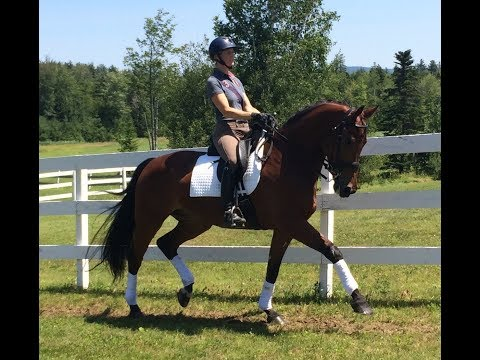 Antigua - Dressage Horse for Sale at Northshire Farm, Vermont