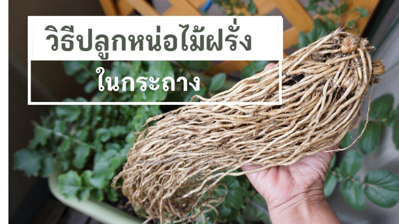 ปลูกผักในกระถาง EP.9 วิธีปลูกหน่อไม้ฝรั่ง เทคนิคการปลูกแบบญี่ปุ่น เข้าใจง่าย How to Grow Asparagus