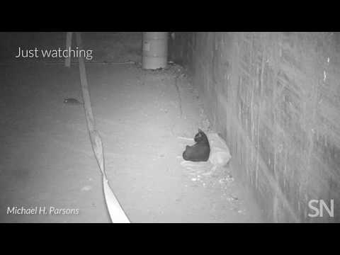 Here's what happens when streetwise cats meet NYC rats | Science News