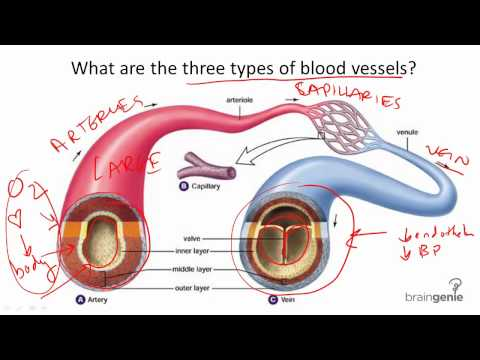 8.7.2 Blood Vessel Structure and Function