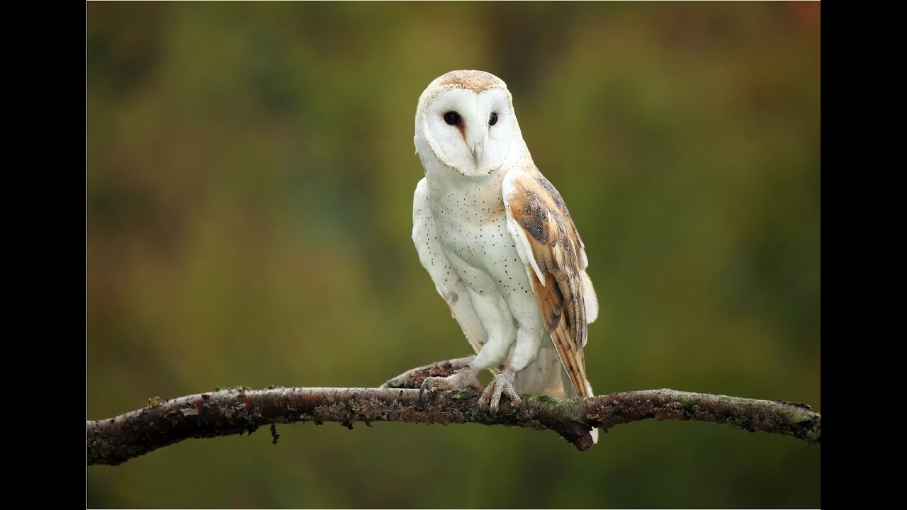 Amazing Facts About Barn Owls - YouTube