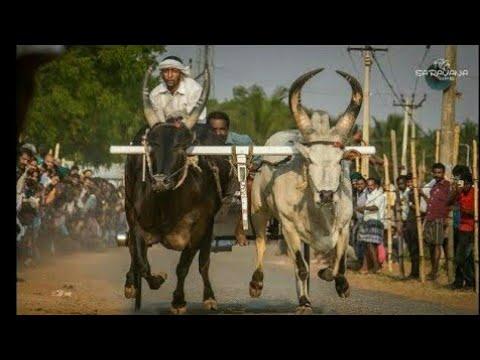 42 Appadurai pulyamarathupalayam | Dharapuram rackla race