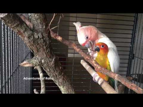 Cockatoo takes Conure under his wing