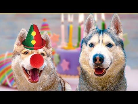 НЕ ОЖИДАЛ ТАКОГО В СВОЙ ДЕНЬ РОЖДЕНИЯ... (Хаски Бандит) Говорящая собака