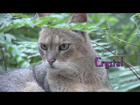 JUNGLE CAT - Species Spotlight