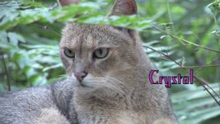 JUNGLE CAT - Species Spotlight