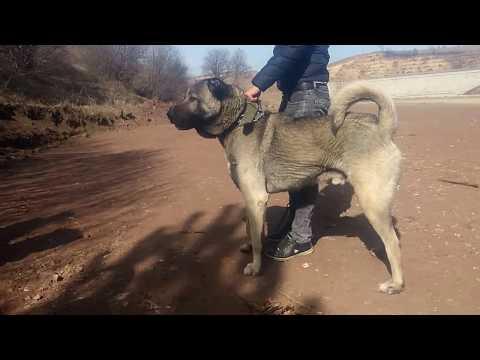 Baba ve ogullari 05447143055 legend kangal dogs atack