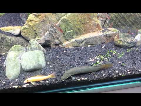 Senegalus bichir feeding doovi for Bichir fish for sale