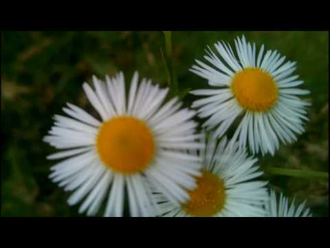 Полевые Ромашки, белые ромашки цветут