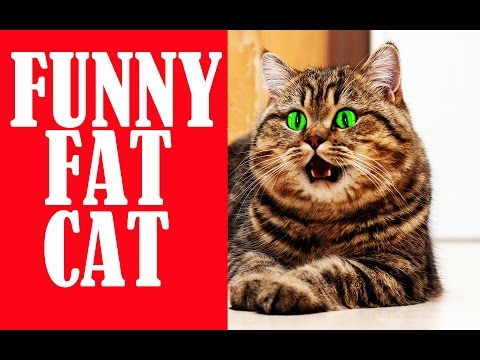 Funny fat cat Compilation- funny cat video