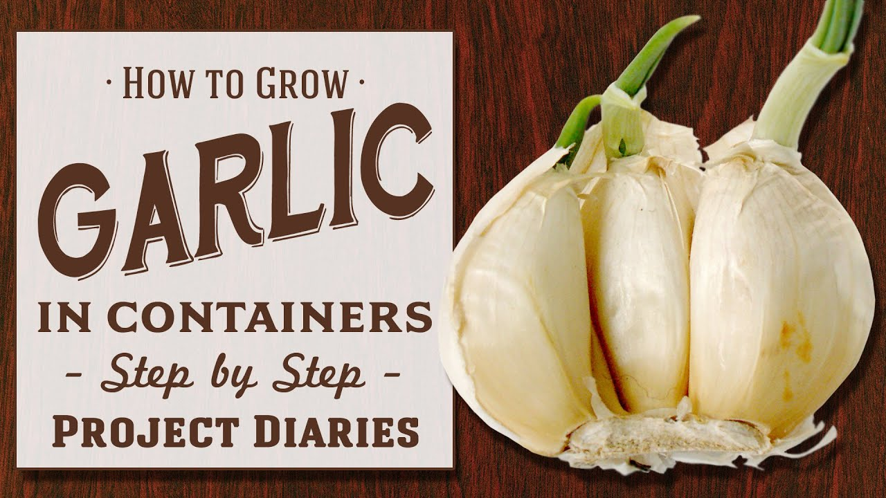 how to grow garlic in containers step by step guide youtube. Black Bedroom Furniture Sets. Home Design Ideas