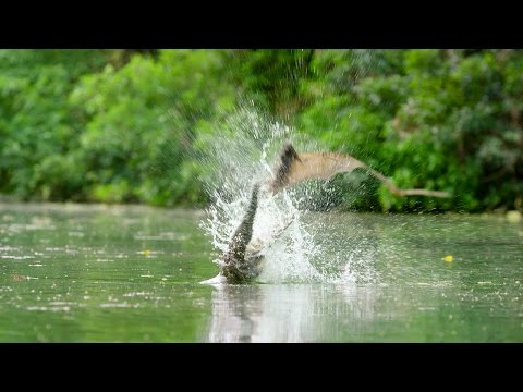 Flying Foxes Vs Freshwater Crocodile | Lands of the Monsoon | BBC Earth