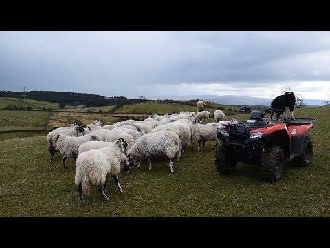 Farming Life Episode 91: Feeding Sheep On The New Quad Bike