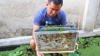 TAKING CARE AND COLLECTING BEAUTIFUL GUPPIES