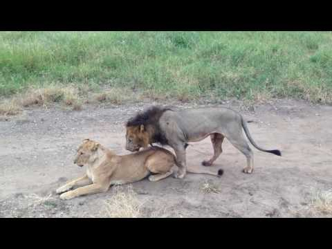 Lions Mating in Tarangire National Park, Tanzania