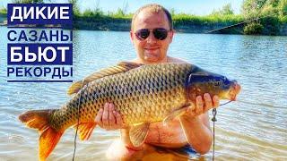 ДИКИЕ САЗАНЫ БЬЮТ РЕКОРДЫ Рыбалка на Ахтубе Лето 2021