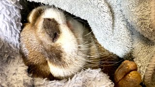 An otter sleeping happily wrapped in a blanket [Otter life Day 430]【Otter Aty & Mr.Cat】