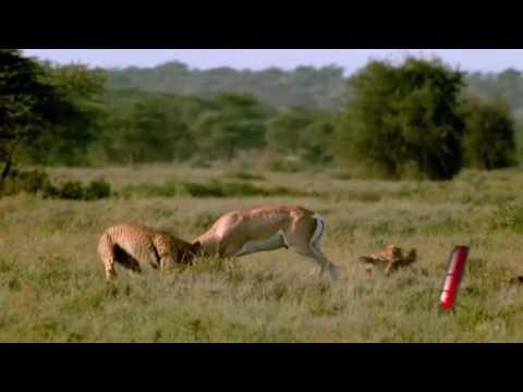 Çita ve ceylanın ölüm kalım m�lesi