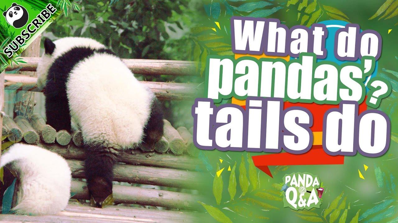 Panda Profile Qa Ep2 20161006 What Do Pandas Tails Do Ipanda