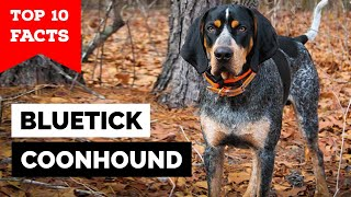 Bluetick Coonhound  Top 10 Facts