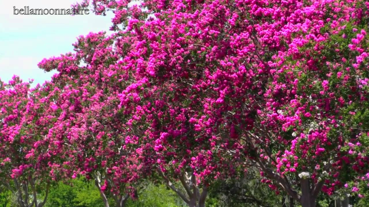 Beautiful Flowering Trees Crepe Myrtles Youtube