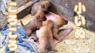 師匠のところに可愛い子犬たちを見に行って来ました。 岐阜の猟師さんか...