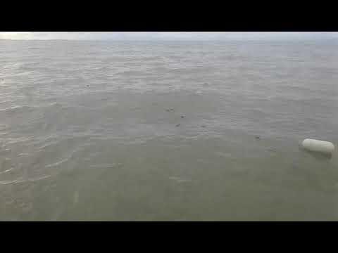 Jaring Ikan Belanak.. Ikannya lompat ke perahu ..wow saking banyaknya