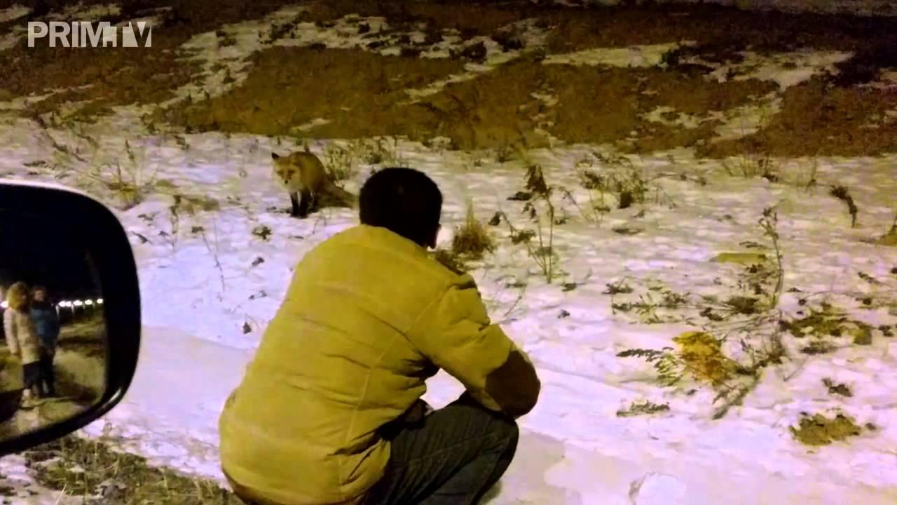 Жители Владивостока подкармливают голодных лис на острове ...