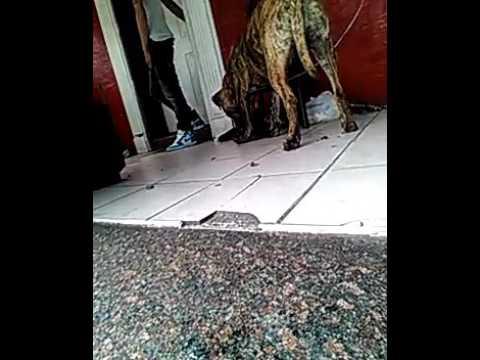 .my new pitbull taz