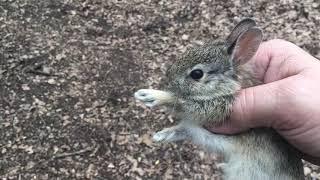 Baby wild rabbit found on the homestead