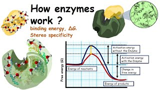 How enzymes work?( Lowering of Activation energy by enzymes and binding energy)