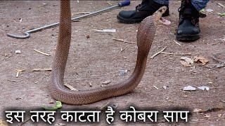 इस तरह काटता है कोबरा साप, देखिये ये पूरा वीडियो, Rescue indian cobra snake from Ahmednagar