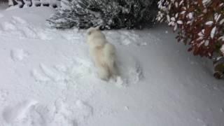 日本スピッツのシャチが大雪の中、童謡「雪」の通り、喜びながら庭を駆...